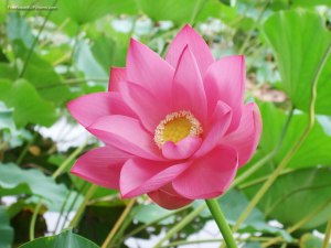 lotus_flower-7
